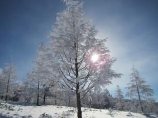 白い針葉樹