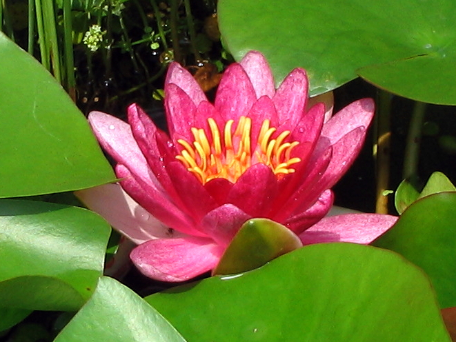赤い水連の花
