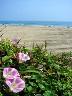 ハマヒルガオ咲く御宿海岸