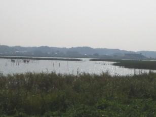 【本埜付近】 葦とヤナ 懐かしの印旛沼らしい風景