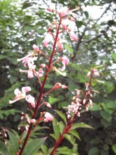 桃色の花がつくホツツジ