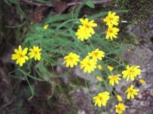 黄色い花のタカネニガナ