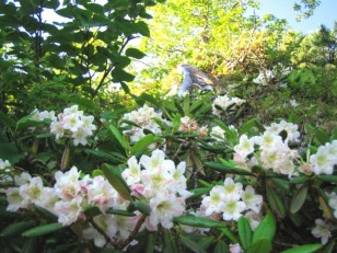 石楠花が群生