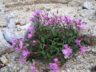 白い砂礫に咲くピンクの花