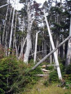 登山道を塞ぐ倒木