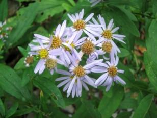 青紫のシオンの花