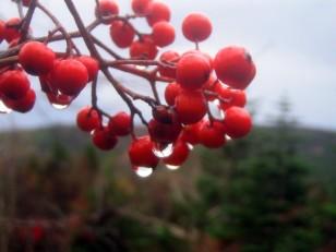 赤い実に水滴