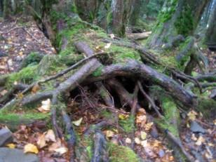 生き物のような木の根