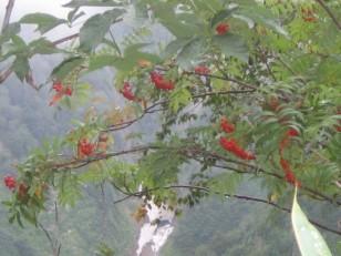 鮮やかな赤い実をつけるダケカンバ