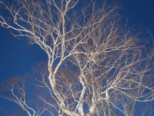 青空に白銀の大樹