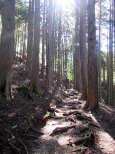真っすぐな杉と登山道