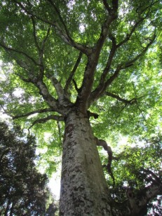 ブナの大樹