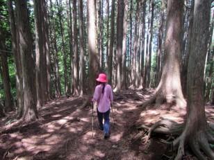 太い杉の木が沢山