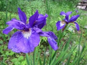 紫がきれいなアヤメの花