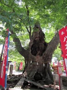 推定樹齢1000年以上の大ケヤキ