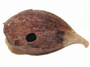 学術的には檮 (イスノキ)の葉に出来た虫癭(ちゅうえい:昆虫が寄生し木質化した部分)