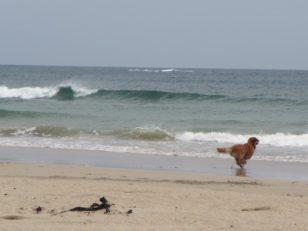 砂浜走るワンコ